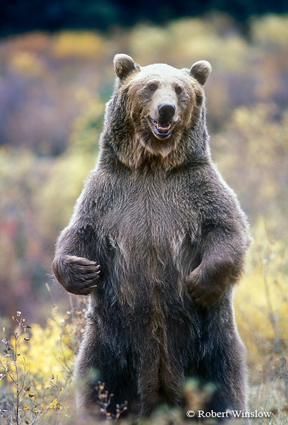grizzly-bear-standing-wallpaper-1