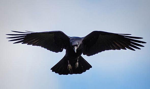 raven-638969